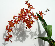 Cluster of Marsala red orchids Stock Image