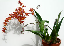 Cluster of Marsala red orchids in a pot Royalty Free Stock Photo