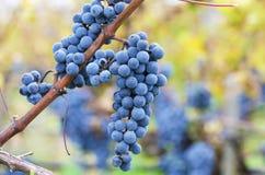 Cluster of Merlot in a vineyard in Bulgaria Stock Photo