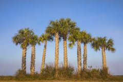 Mexican Fan Palms Cluster Stock Photography