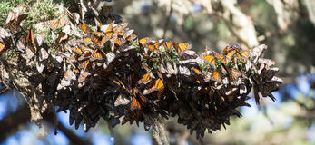 Cluster of Monarch Butterflies (Danaus plexippus). Monarch Grove Sanctuary, Pacific Grove, California stock photography