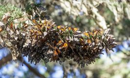 Cluster of Monarch Butterflies keeping warm during winter migration. Butterflies hanging close to each other to stay warm on a tree branch during their royalty free stock photos