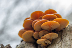 Cluster of mushrooms Royalty Free Stock Photo