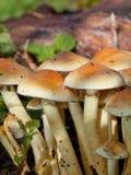Cluster of mushrooms in autumn Stock Photos