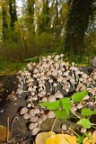 Cluster of mushrooms Royalty Free Stock Image