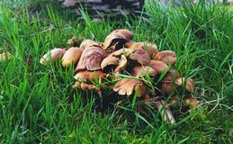 A Cluster of Mushrooms Royalty Free Stock Image