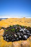 Cluster of mussels Royalty Free Stock Photos