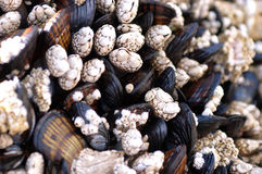 A Cluster of Mussels. At Oregon Coast Royalty Free Stock Photography
