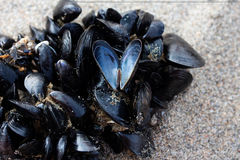 Cluster of Mussels Stock Photo