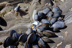 A cluster of Mussels. Exposed at low tide stock image