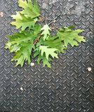 Oak Leaves on Metal. A cluster of oak leaves on metal along the sidewalk Royalty Free Stock Photos