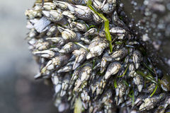 A cluster oif barnacles on a rock. Stock Photography