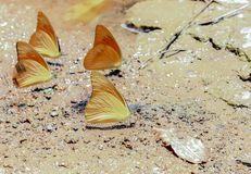 A cluster of orange butterflies Stock Image