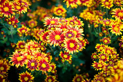 Cluster of orange chrysanthemum flowers Royalty Free Stock Photography