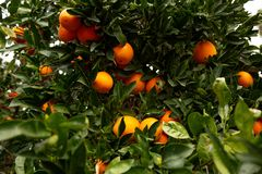 Several oranges on a tree