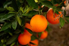 Several oranges on a tree stock photos