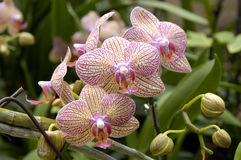 A cluster of orchids. Close up of a cluster of orchids Royalty Free Stock Photography