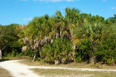 Cluster of palm trees along dirt road Royalty Free Stock Photo