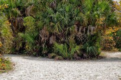 Cluster of palms on dirt road Stock Image