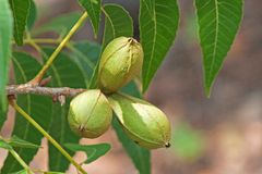 CLUSTER OF PECAN NUTS ON A PECAN NUT TREE. View of a cluster of pecan nuts and green leaves on a branch of a pecan nut tree in a garden Stock Photo