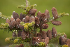 Cluster of Pine Cones. Close-up of small pine cones at the top of a pine tree royalty free stock photo
