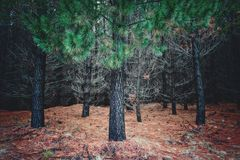 Cluster of pine trees and a bed of dry pine needles stock photos