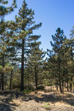 Cluster of Pine Trees Stock Photo