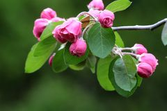 Cluster of pink crabapple flowers Royalty Free Stock Image
