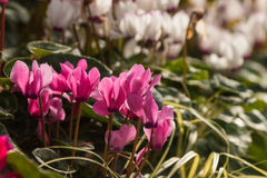 Cluster of pink cyclamen flowers Stock Photo