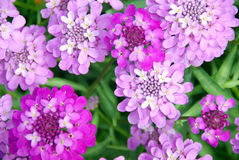 Cluster of pink flowers. A close up view of a cluster of pink and purple flowers on a background of green leaves stock photos