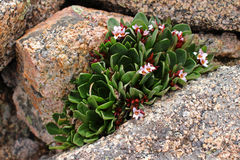 Cluster of pink flowers in rock Stock Photography