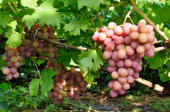 Cluster of pink grape on vine Royalty Free Stock Images