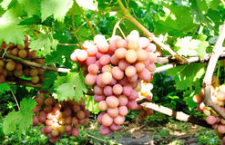 Cluster of pink grape Stock Photography