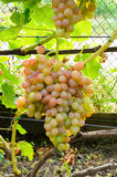 Cluster of pink grape on vine Royalty Free Stock Photography
