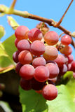 Cluster of pink grapes Royalty Free Stock Photo