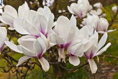 Cluster of pink magnolia flowers. Stock Photo