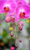 A cluster of pink orchids Royalty Free Stock Photos