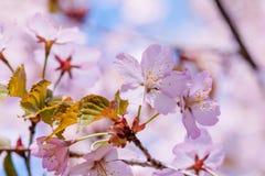 Cluster of pink sakura flowers Royalty Free Stock Images