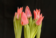 Cluster of pink tulips Royalty Free Stock Images