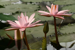 Cluster of pink water lilies Royalty Free Stock Photos