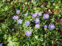 Cluster of pretty blue dainty spring daisies. Or Asters growing outdoors in a garden or meadow viewed from above in sunshine Stock Images