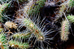 Cluster of prickly pear cactus Stock Images