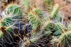 Cluster of prickly pear cactus Stock Photography