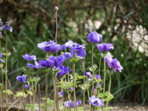 Cluster of purple spring flowers in a garden. Cluster of pretty dainty purple spring flowers growing in a garden in sunshine , low angle side view Stock Photos