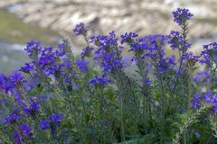 Purple wildflowers along Mountain Fork River, Oklahoma Royalty Free Stock Images