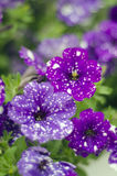 A cluster of purple white doted petunias Royalty Free Stock Photos