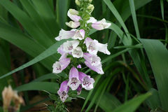 A cluster of purple and white foxglove blossoms. Stock Images