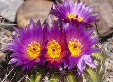 Cluster of Purple and Yellow Ball Cactus Flowers royalty free stock photos