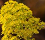 Cluster of radiant aeonium flowers. Cluster with radiant flowers of aeonium undulatum Stock Image
