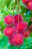 Cluster of rambutan Stock Photo